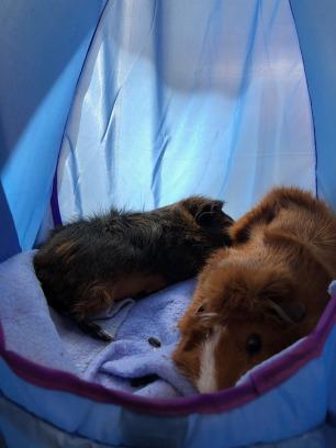 Cavias samen slapen2
