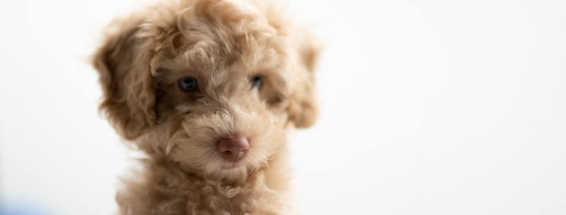 Puppy - tips bij het vinden van een goede fokker